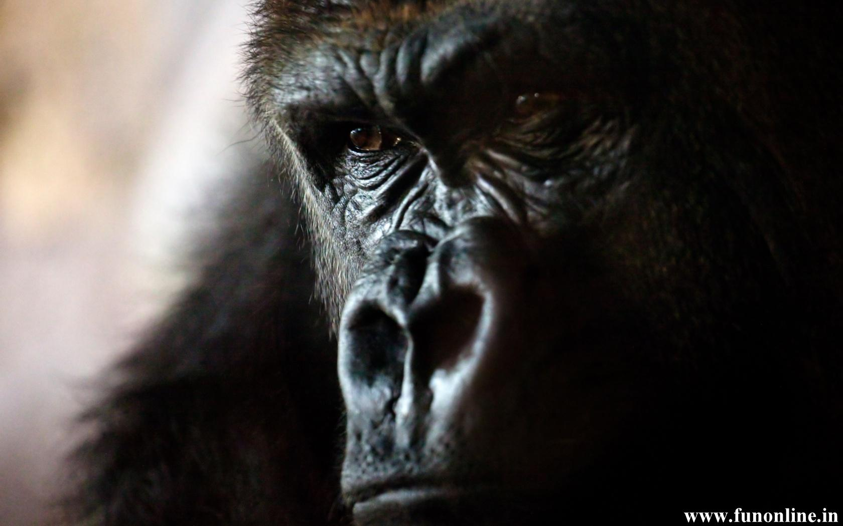 Gorilla Fac HD Wallpaper Background Images 1680x1050