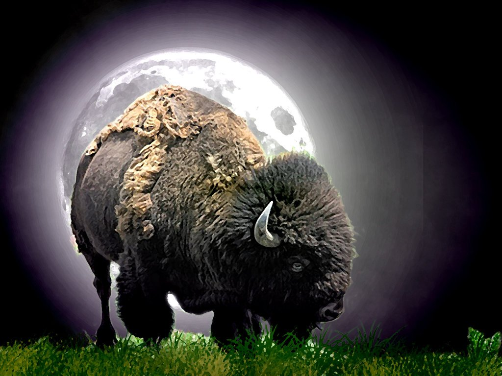 American Bison Wallpaper Wallpapersafari