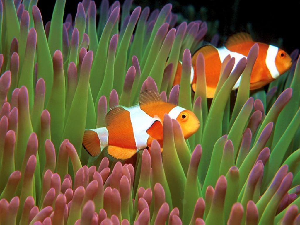 Clown fish Wallpapers 1024x768