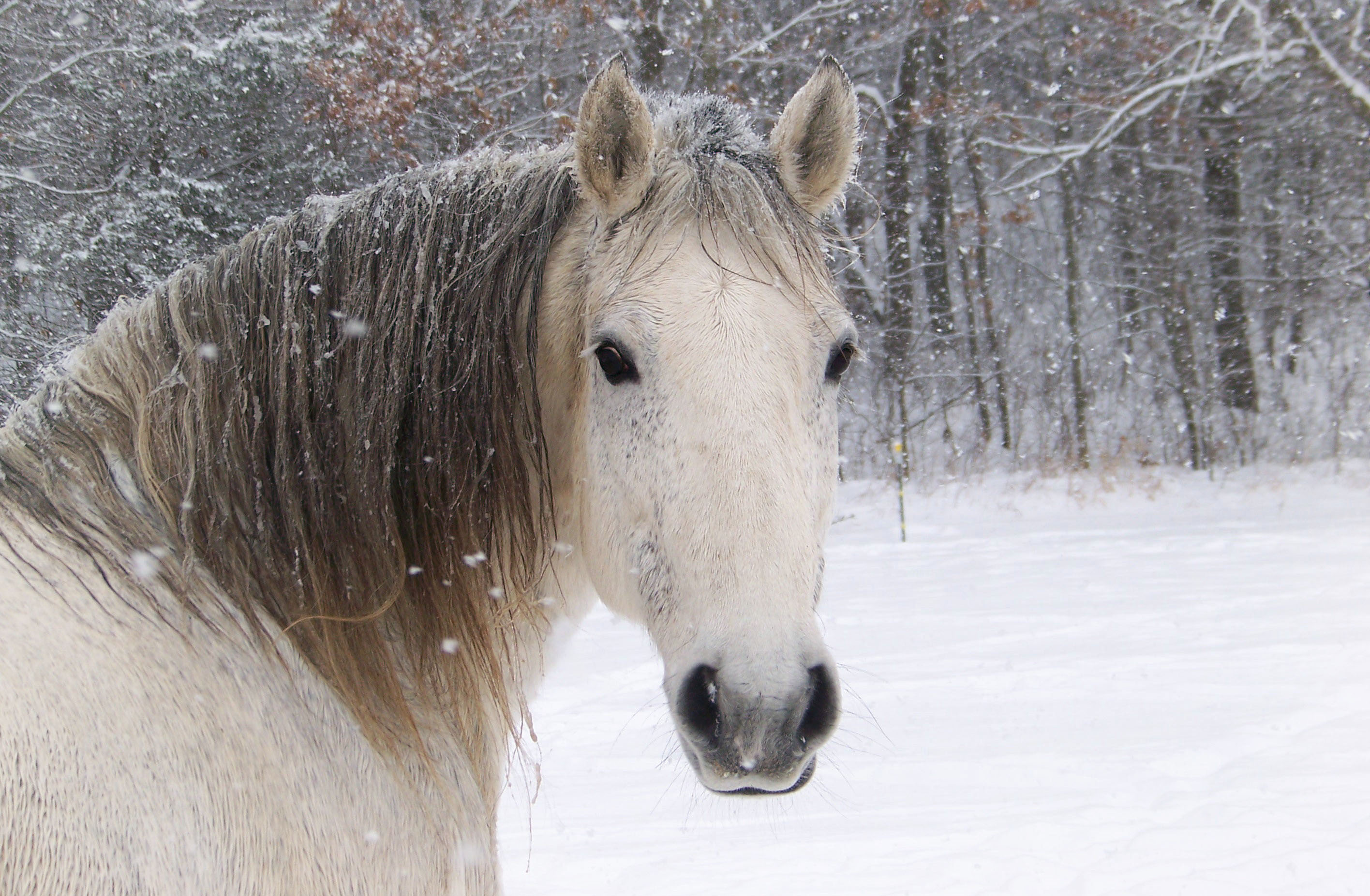 Wallpaper horse horse white face snow wallpapers animals 2832x1852