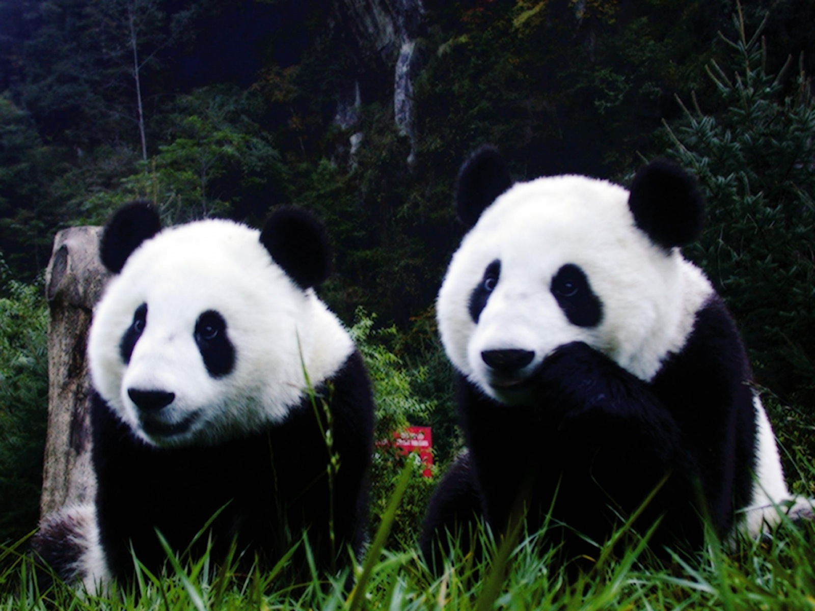 Cute Panda pictures in high definition or widescreen resolution Cute 1600x1200