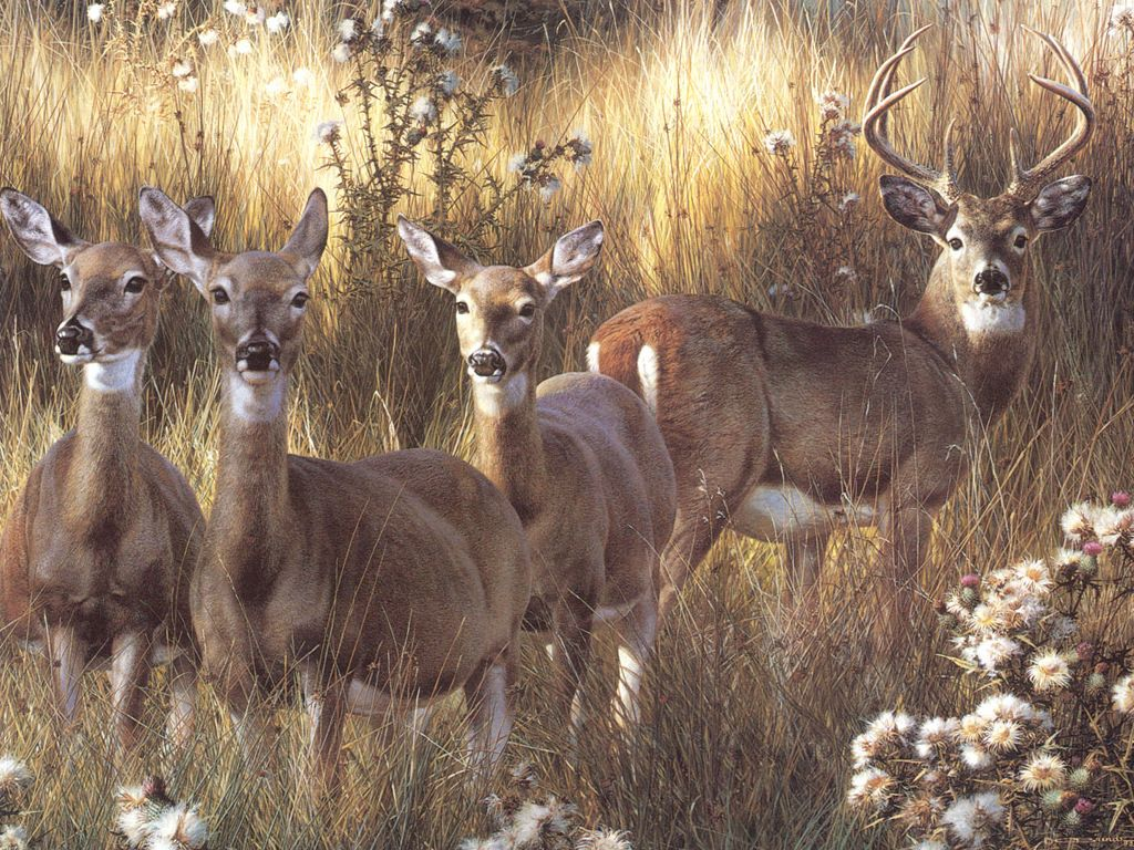 Whitetail Deer Wallpapers 1024x768