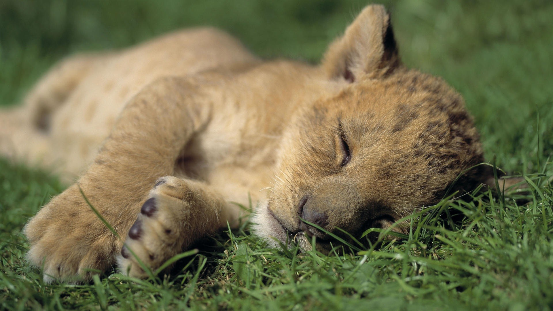 Cute Baby Lion Cub Sleeping Nicely HD Wallpaper HD Wallpapers 1920x1080