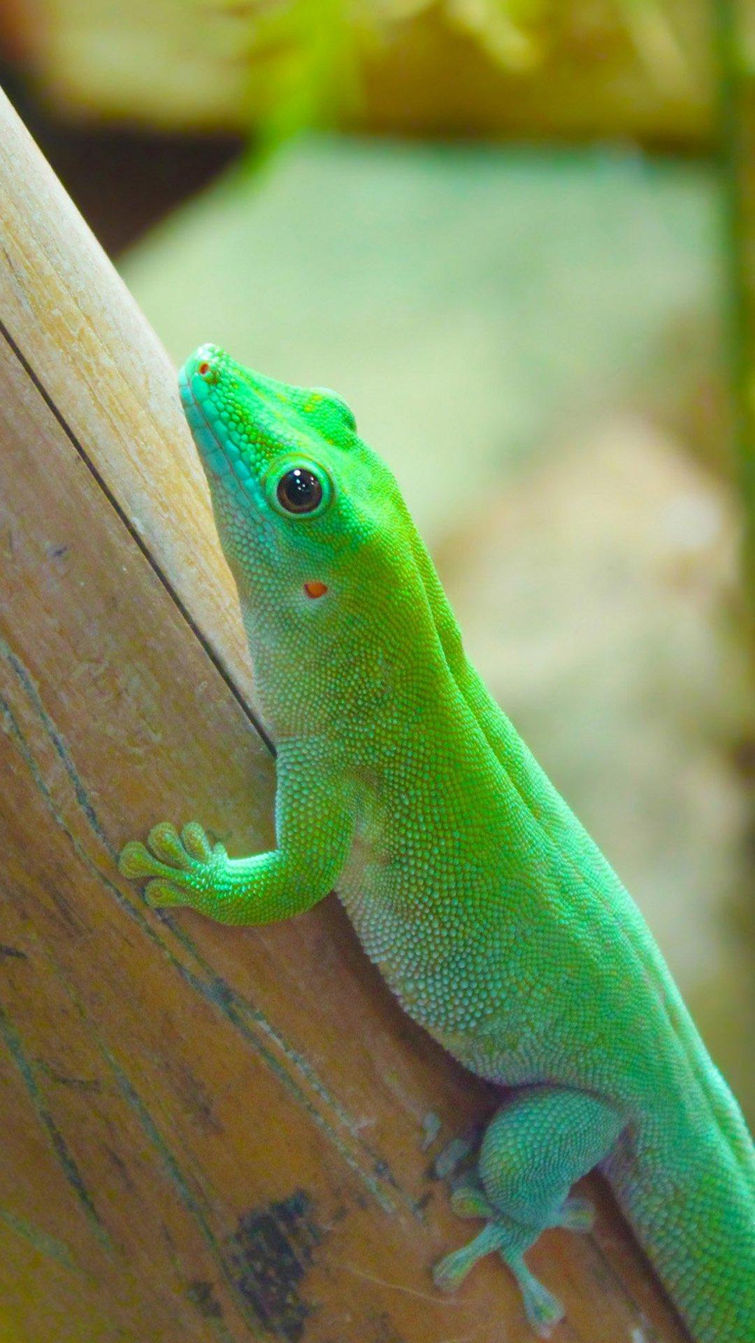 Beautiful chameleon Reptiles iphone 6 plus wallpaper iPhone 6 Plus 1080x1920