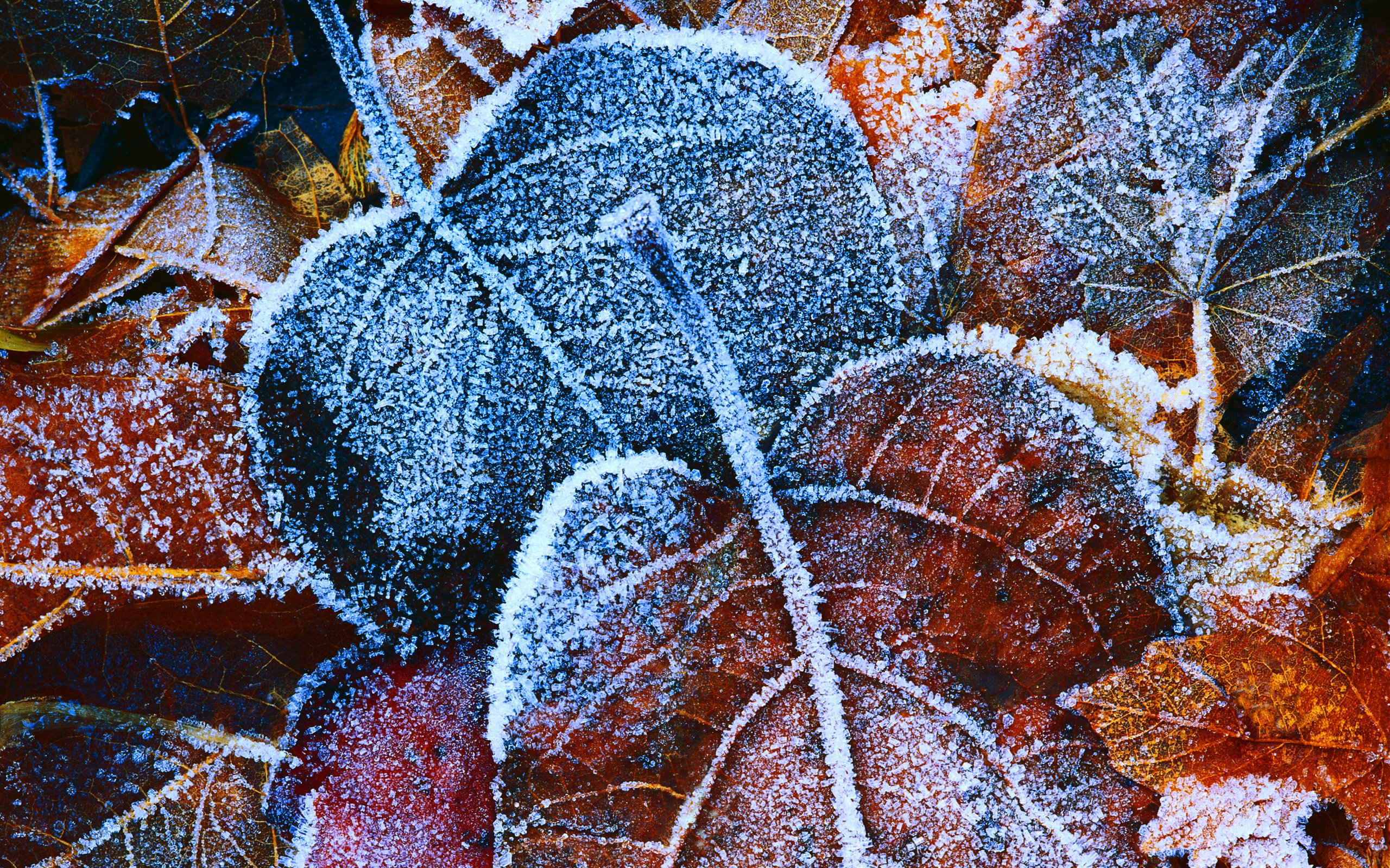 frosty autumn leaves wallpapers hd wallpapers frosty autumn leaves 2560x1600