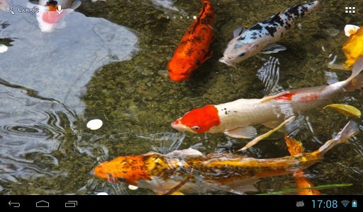 Koi fish live wallpaper wallpapersafari for Koi wallpaper for walls
