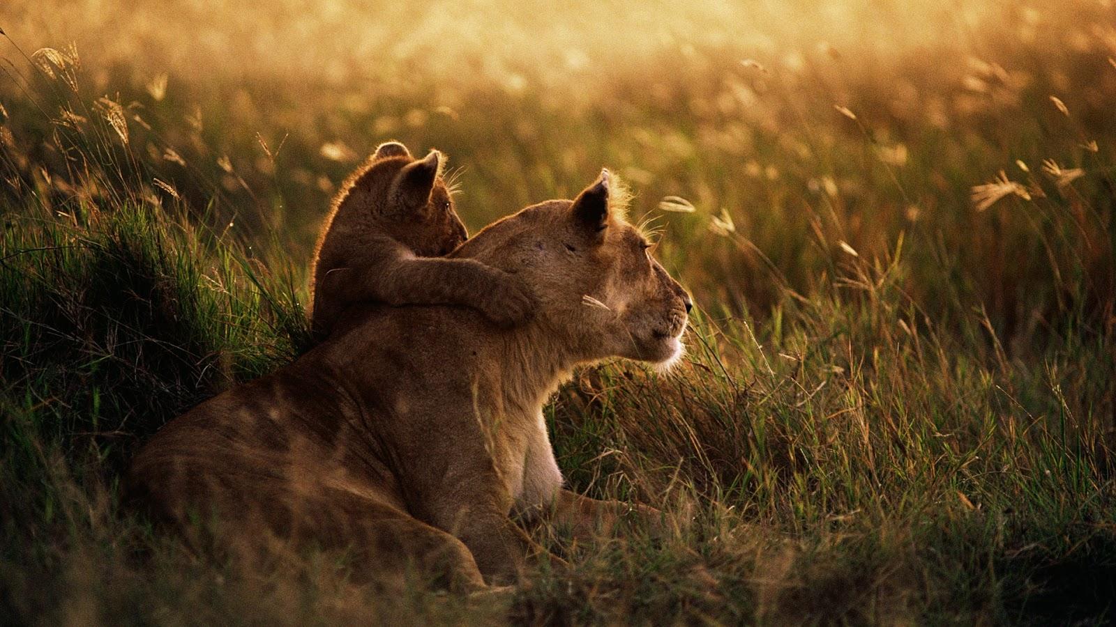African Lion Full HD Desktop Wallpapers 1080p 1600x900