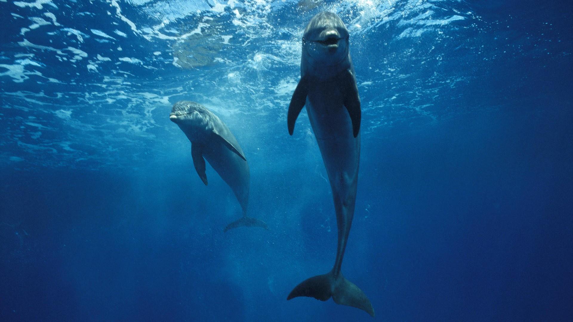 Dolphins 1920x1080 HD Image Animals Marine 1920x1080