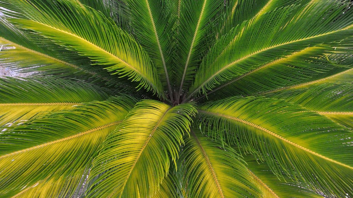 Download Palm tree wallpaper 1366x768