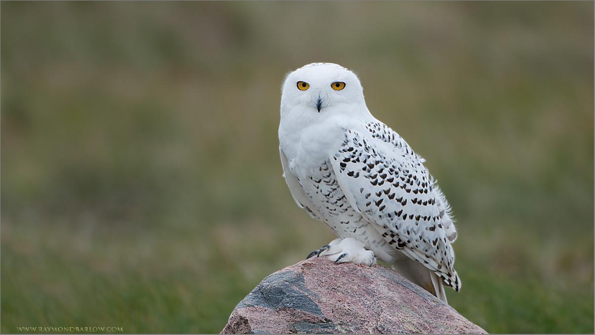 Screensavers Windows 8 Snowy Owl Owls Snowy Owl 1203x678