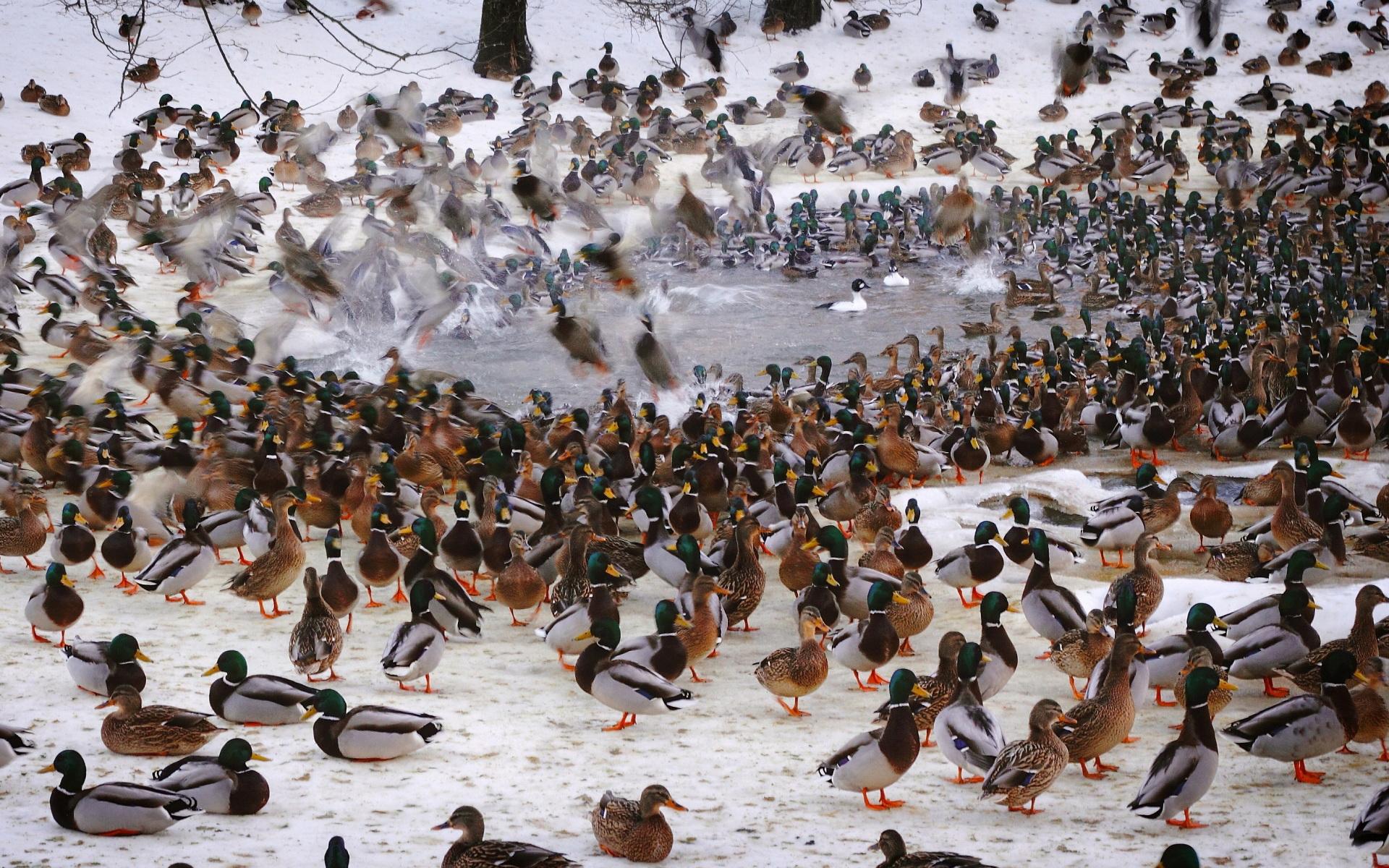 waterfowl fowl ducks flock wallpaper background 1920x1200