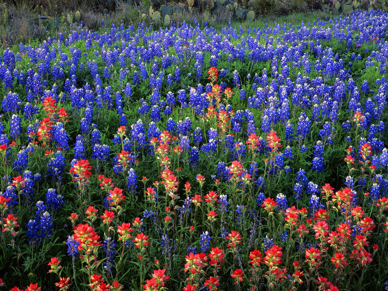 freebluebonnet wallpaper desktopbluebonnet wallpaper iphonetexas 1600x1200