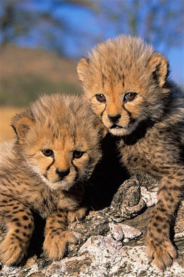 Cheetah Cubs Animal iPhone Wallpapers iPhone 5s4s3G Wallpapers 640x960