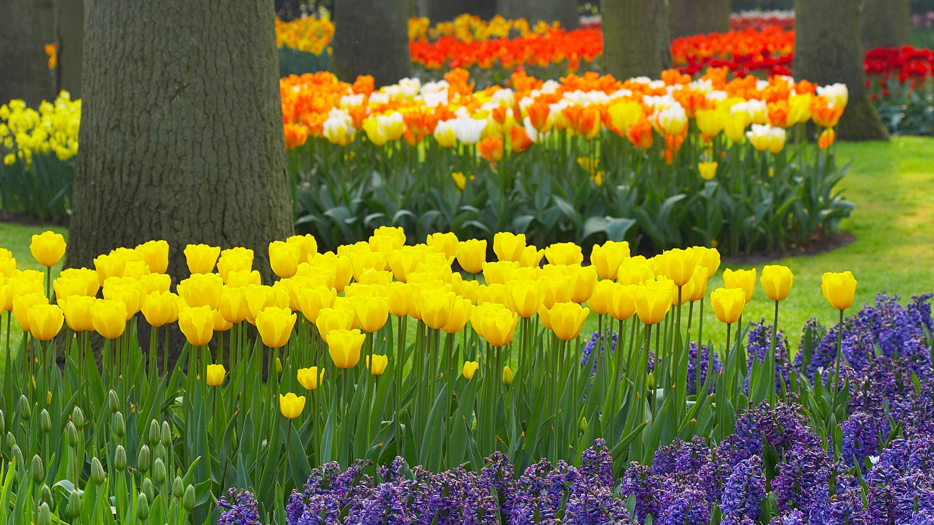 Flower garden wallpaper background - Download Background Spring Garden Keukenhof Gardens Lisse Holland