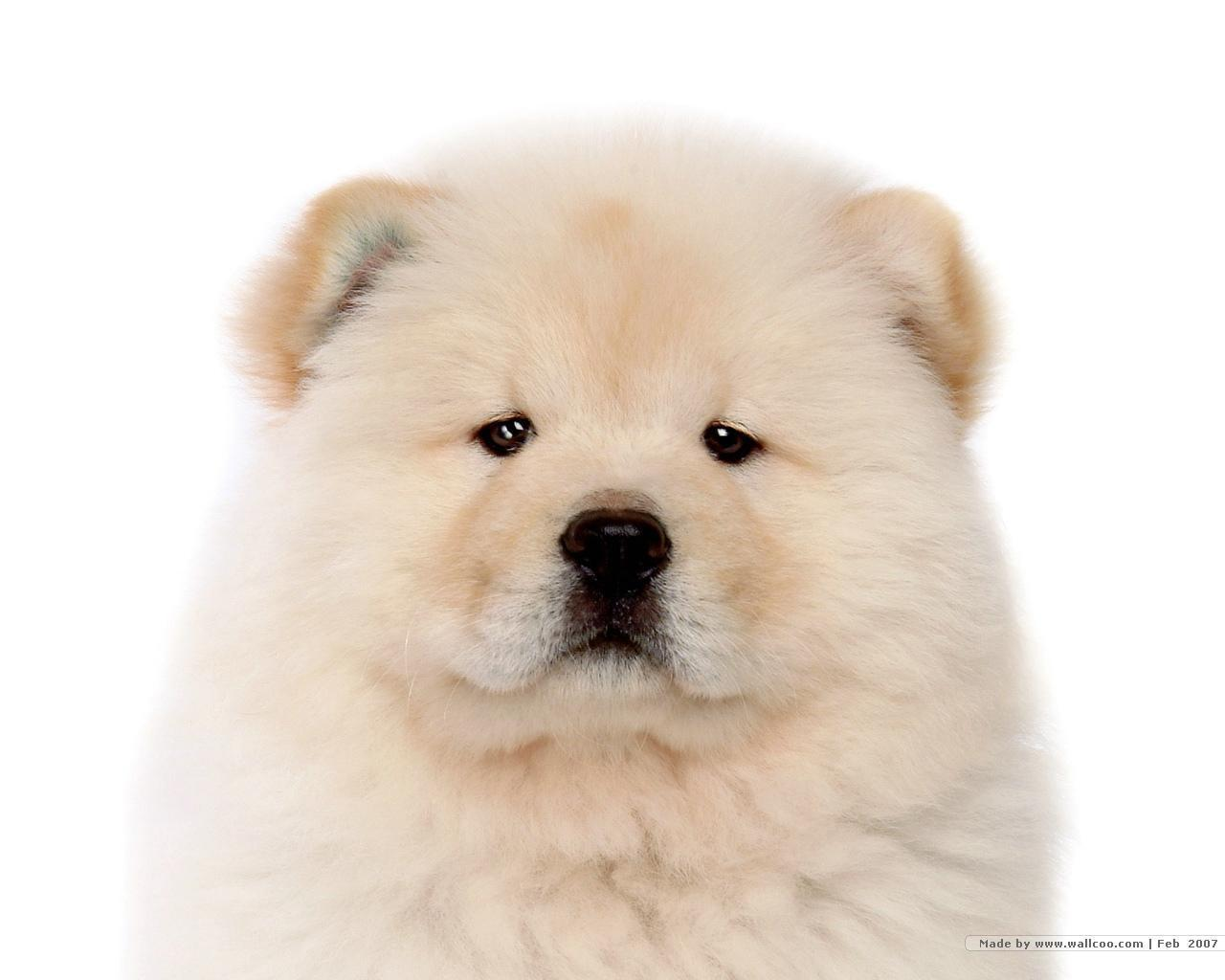 Free download Chow Chow Puppy Wallpaper Puppies Wallpaper