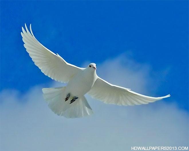 white dove desktop wallpaper hd wallpapers white dove desktop 660x528