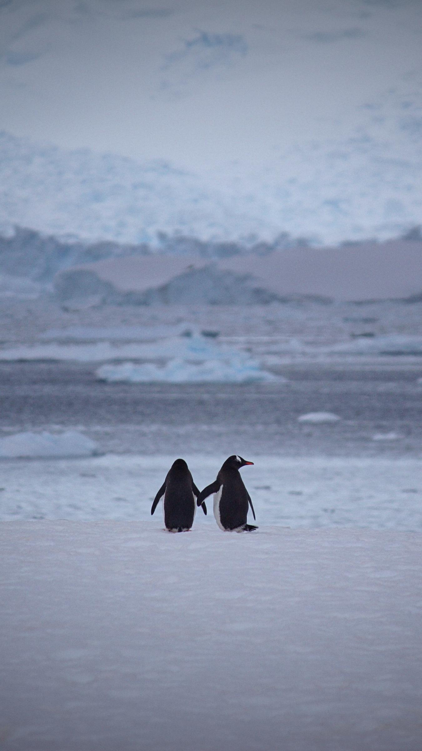 Download wallpaper 1350x2400 penguins couple snow walk iphone 1350x2400