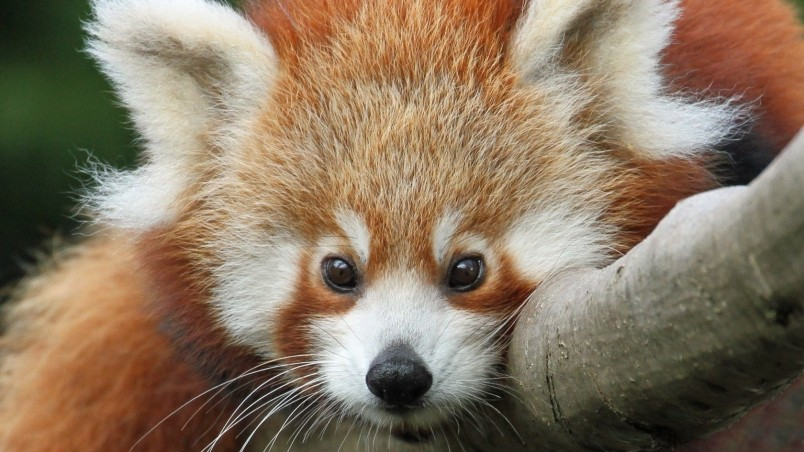Current location Home Animals Others Cute red panda wallpaper 804x452