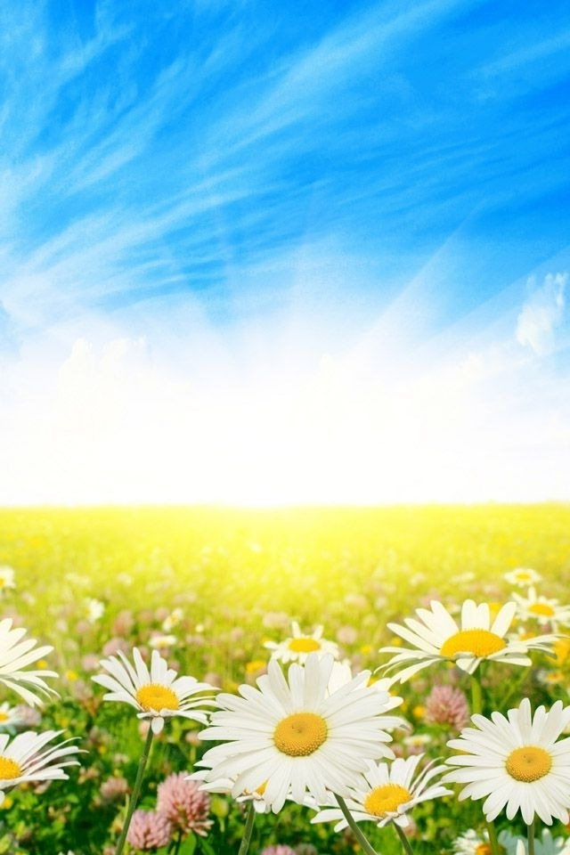 Sunny Daisies iPhone HD Wallpaper iPhone HD Wallpaper download iPhone 640x960