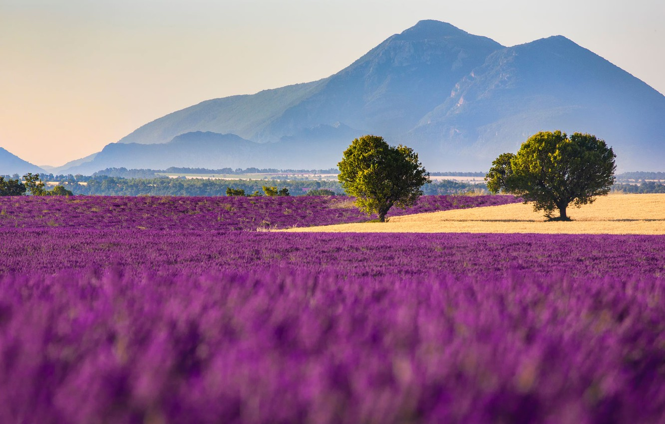 Wallpaper field flowers mountains France lavender Provence 1332x850