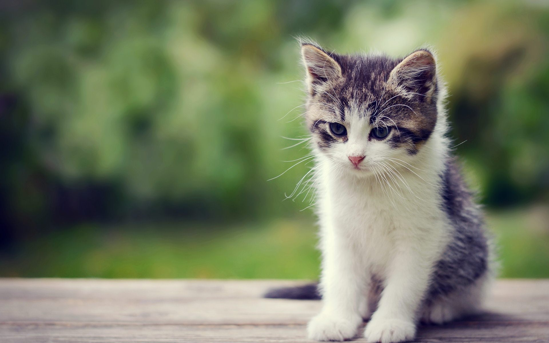 Kitten HD Wallpaper For Desktop 1920x1200