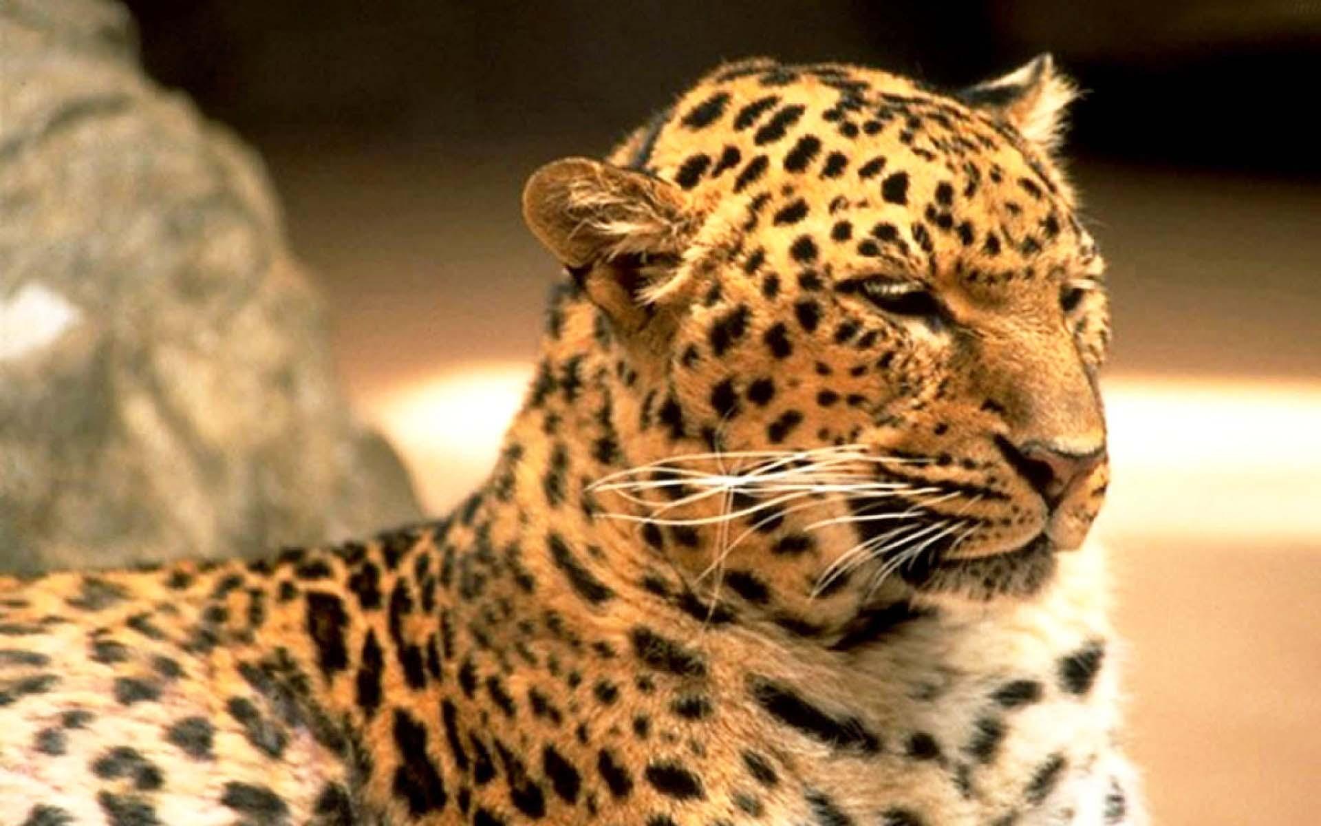 43+ HD Leopard Print Wallpaper on WallpaperSafari