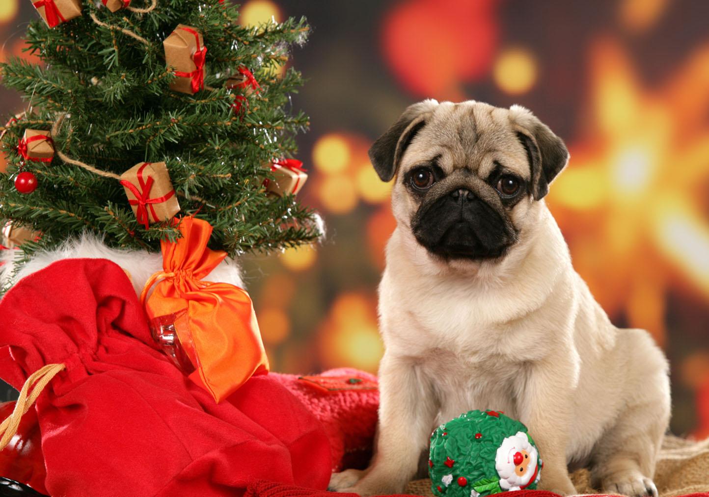Christmas Pug Wallpaper   The Dog Wallpaper   Best The Dog Wallpaper 1444x1013