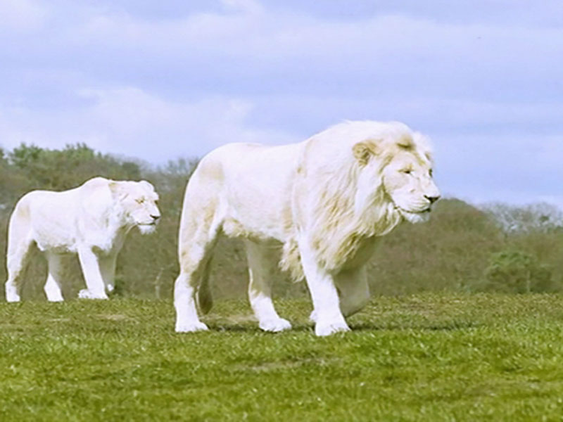 Free White Lions Wallpaper