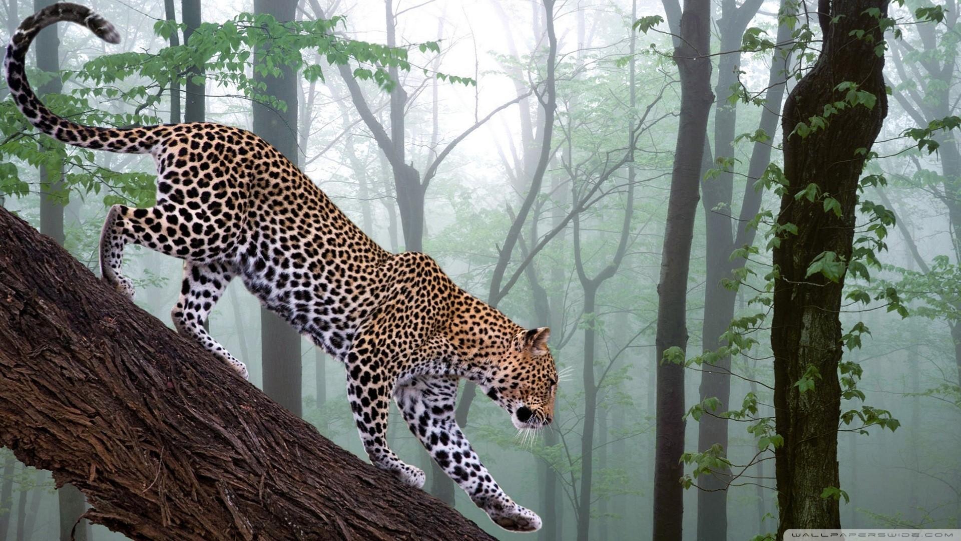 jungle animals animal wallpapersafari jaguar