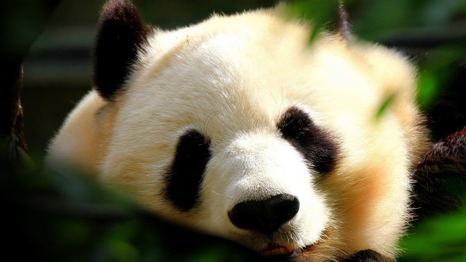 wallpaper panda Full HD 1080p wallpaper adorablejpg 1920x1080