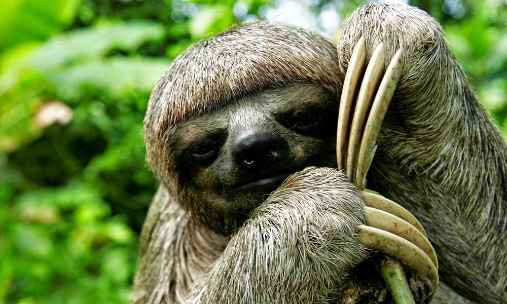 funny sloth wallpapers wallpapersafari