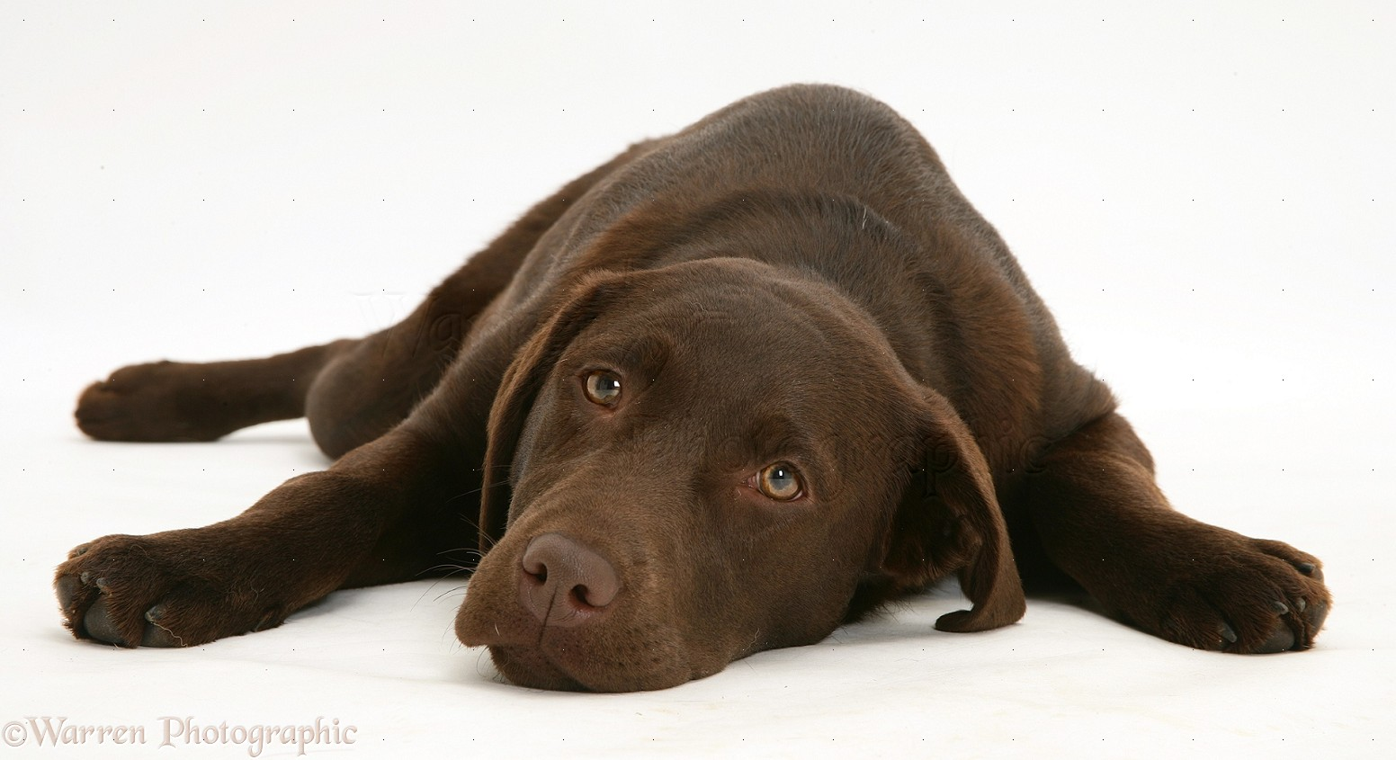 Labrador Chocolate HD Wallpapers Backgrounds 1552x845