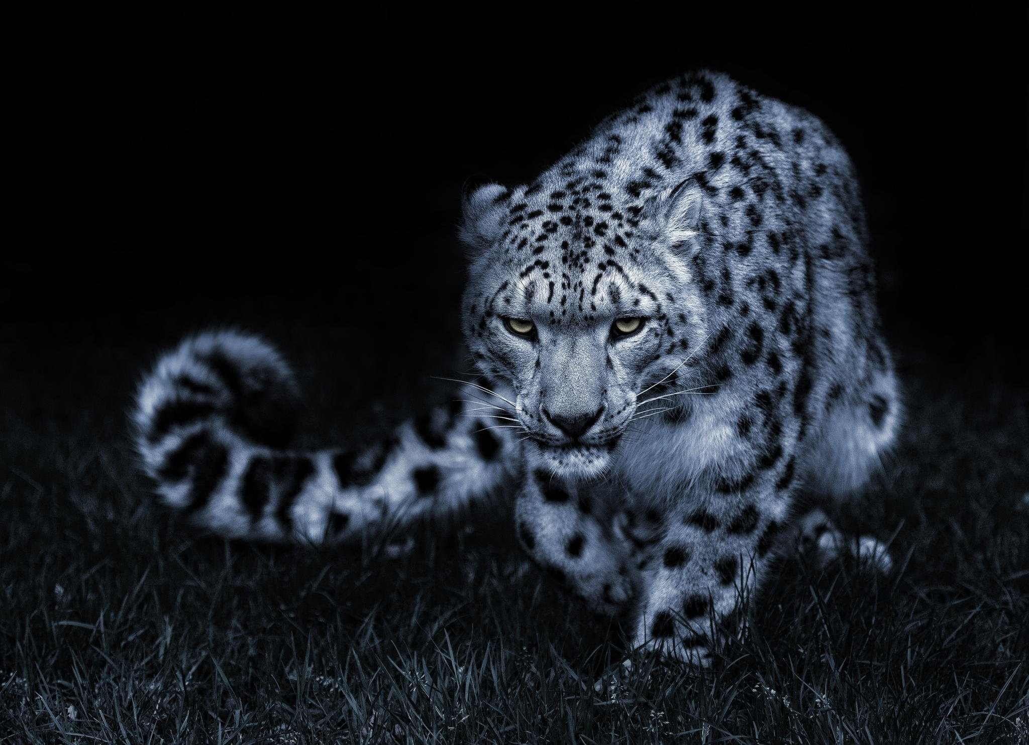 Snow leopard black and white posture eyes cat wallpaper 2048x1484 2048x1484