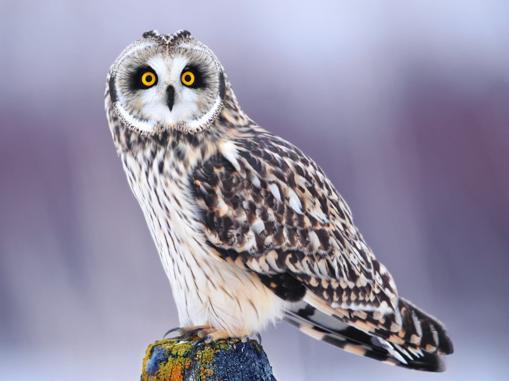 Owl Wallpapers Download HD Wallpapers Pictures Images 1024x768