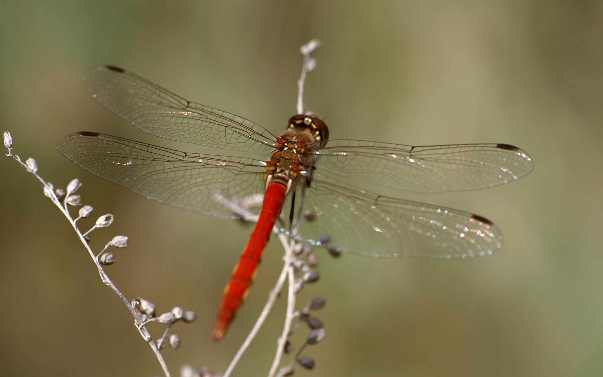 1920x1200 Red dragonfly desktop PC and Mac wallpaper 1920x1200