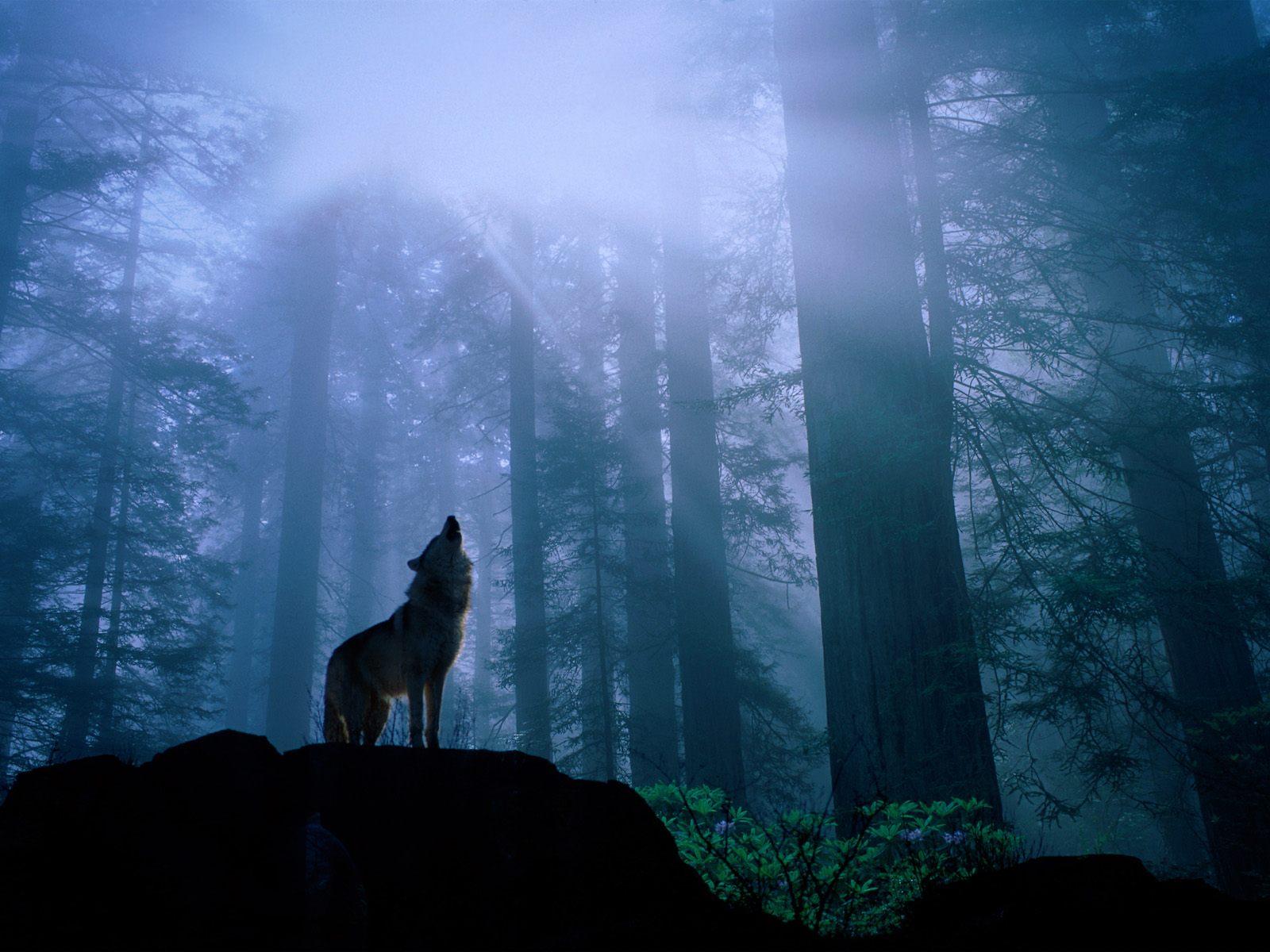 Wolf Wallpaper Desktop 11130 Hd Wallpapers in Animals   Imagescicom 1600x1200