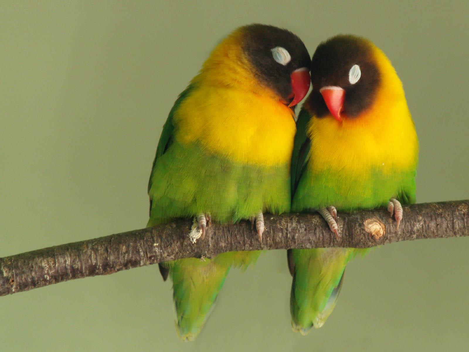 love birds wallpapers love birds desktop wallpapers love birds desktop 1600x1200