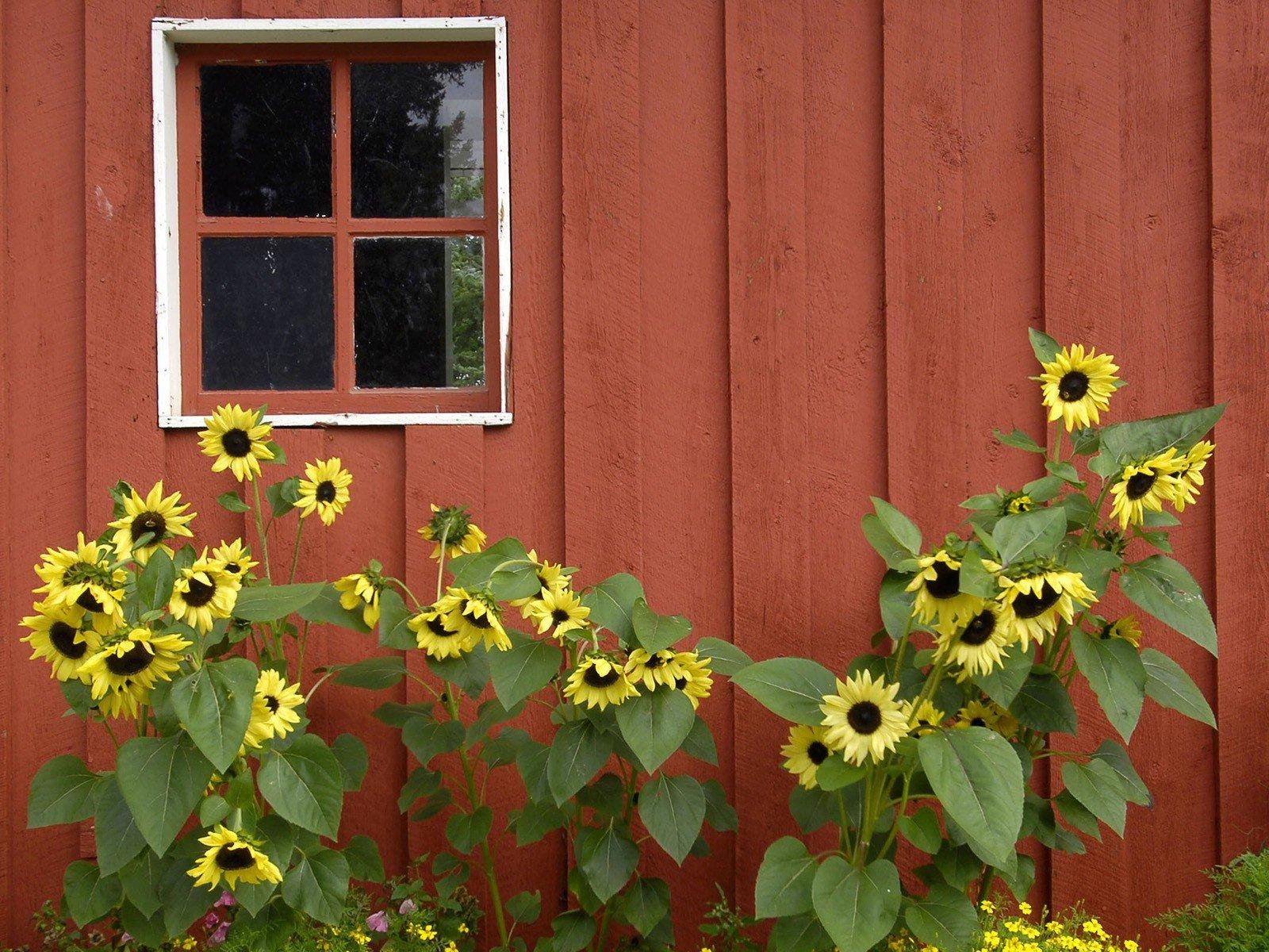 Red Alaska Parks Barn Pioneer Sunflowers Wallpaper Background 1600x1200