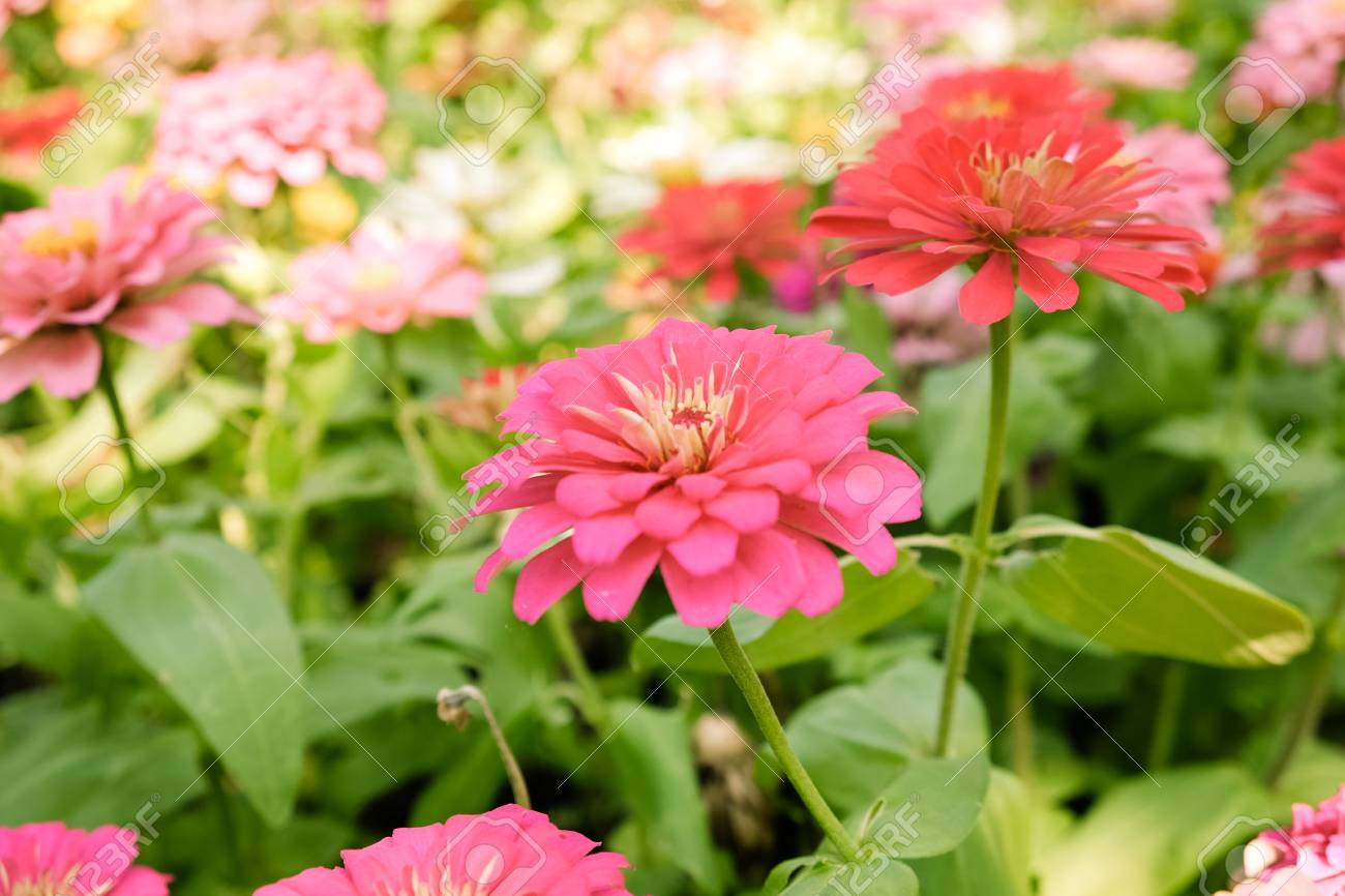 Zinnia Elegans Or Classic Zinnia Flower In Gardensweet Background 1300x866