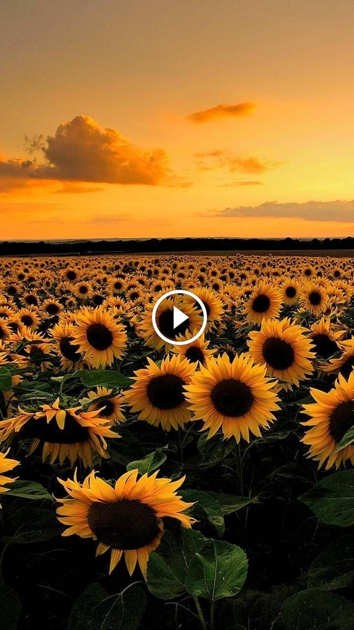 Free Download Clouds Clouds Sunflower Wallpaper Iphone Background Wallpaper 720x1280 For Your Desktop Mobile Tablet Explore 48 Clouds Sunflower Aesthetic Wallpapers Clouds Sunflower Aesthetic Wallpapers Sunflower Wallpapers Sunflower Background