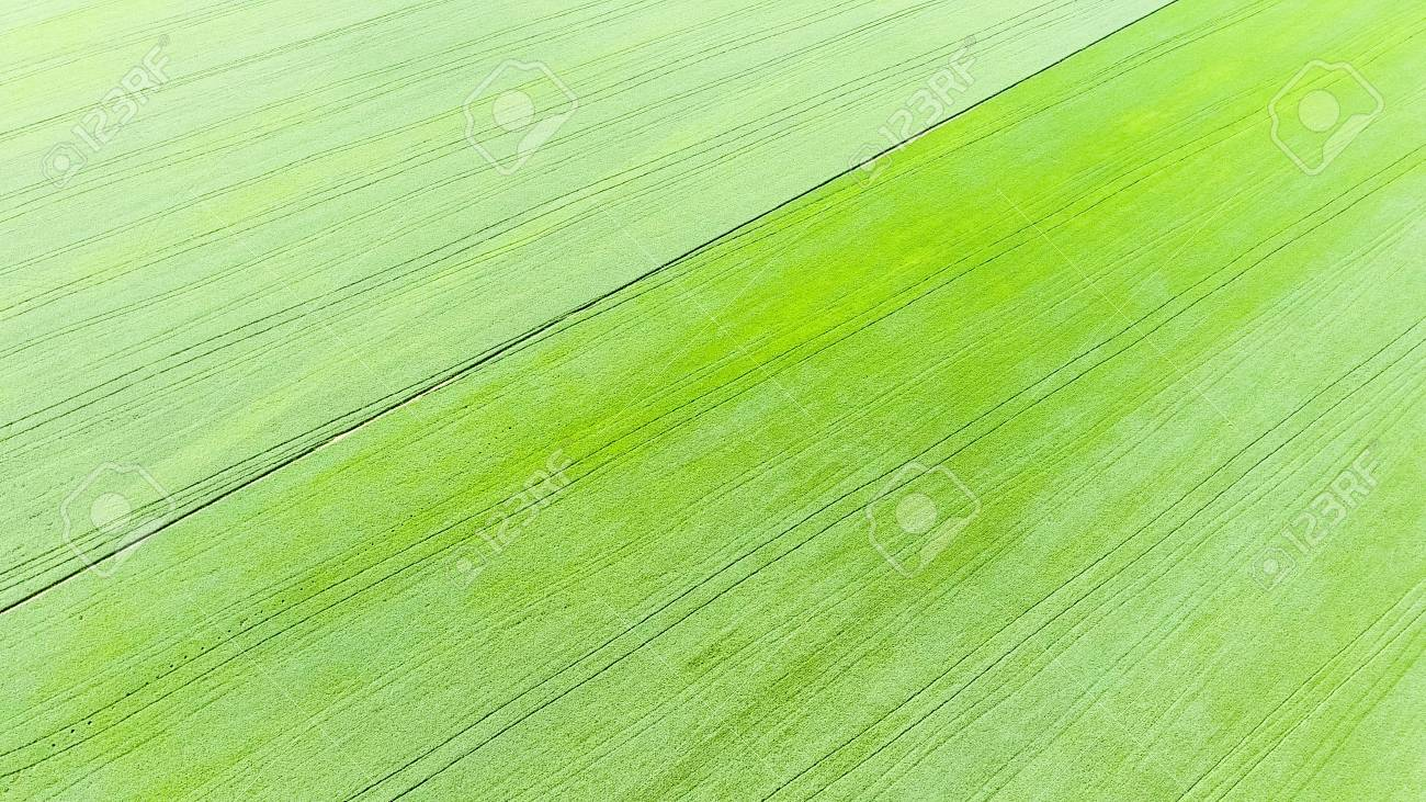 Texture Of Wheat Field Background Of Young Green Wheat On The 1300x731