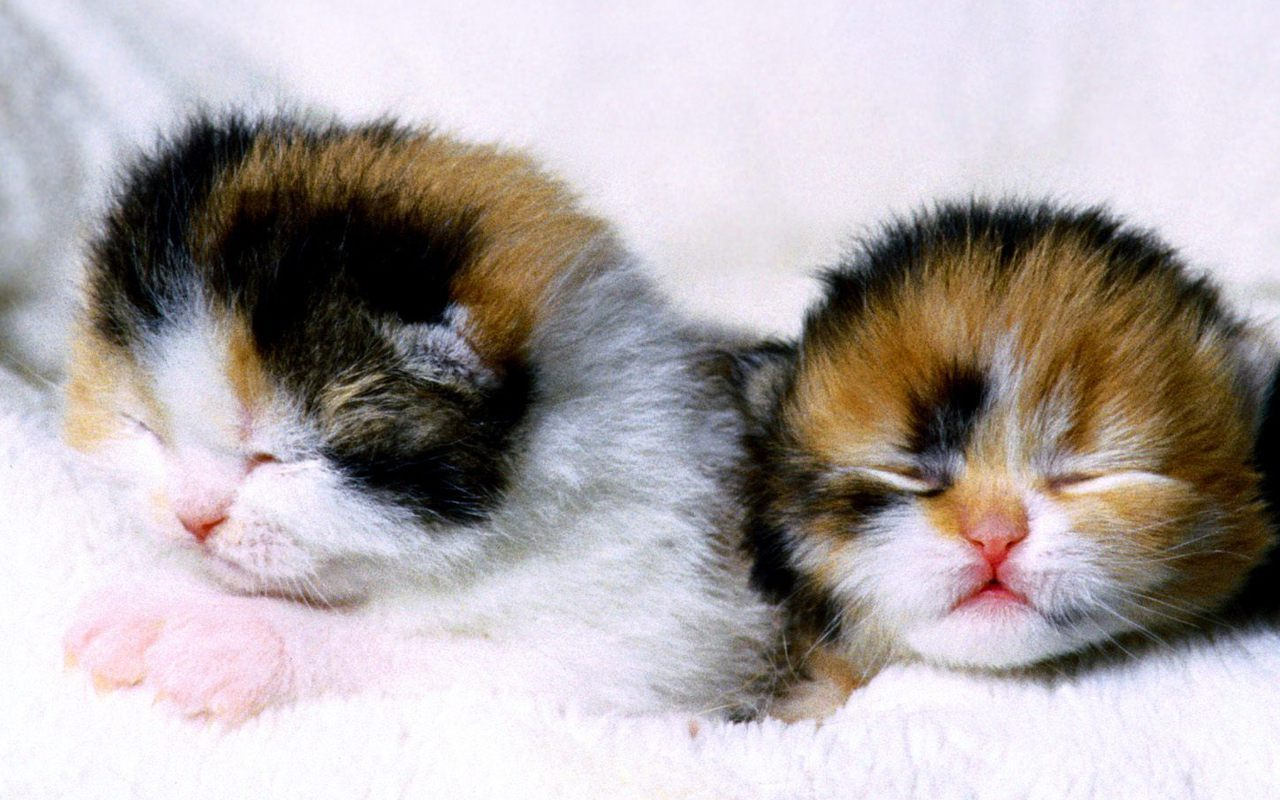 Cute Kittens   Kittens Wallpaper 16155779 1280x800