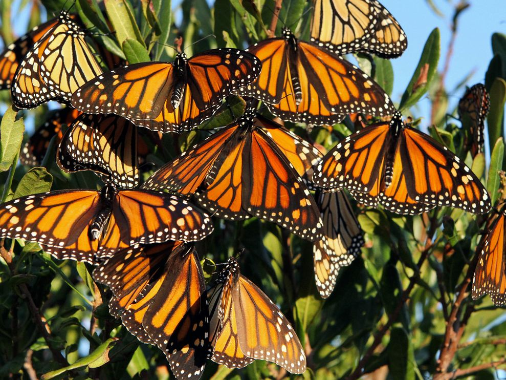 Monarch Butterfly Migration HD Wallpaper Background Images 989x742