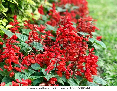 Red Salvia Flowers Background Stock Photo Edit Now 1055539544 1000x729