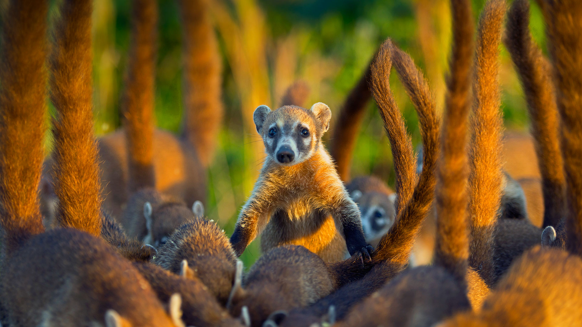 Cozumel Island Coati Bing Wallpaper Download 1920x1080
