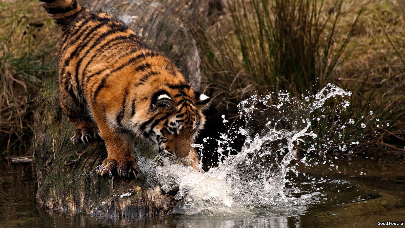 Tiger Wallpapers - WallpaperSafari
