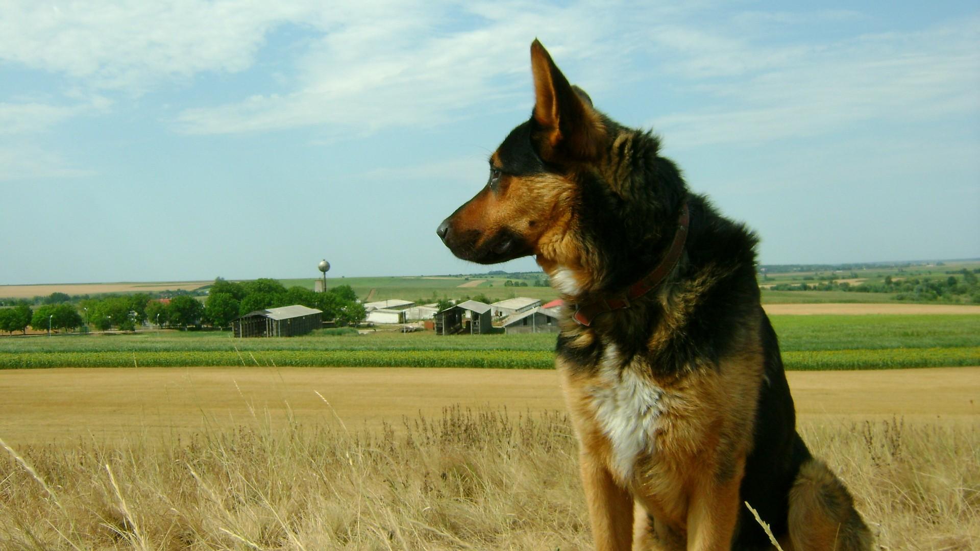 animals german shepherd desktop - photo #7