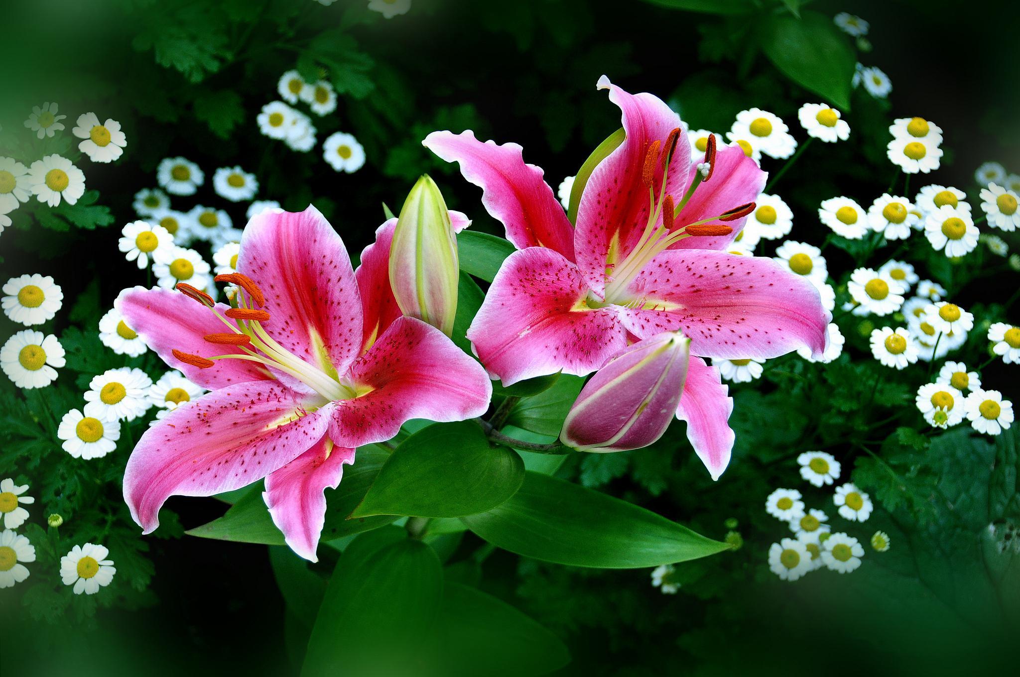 Spring Pink Easter Lilies Hd Wallpaper Wallpaper List 2048x1360