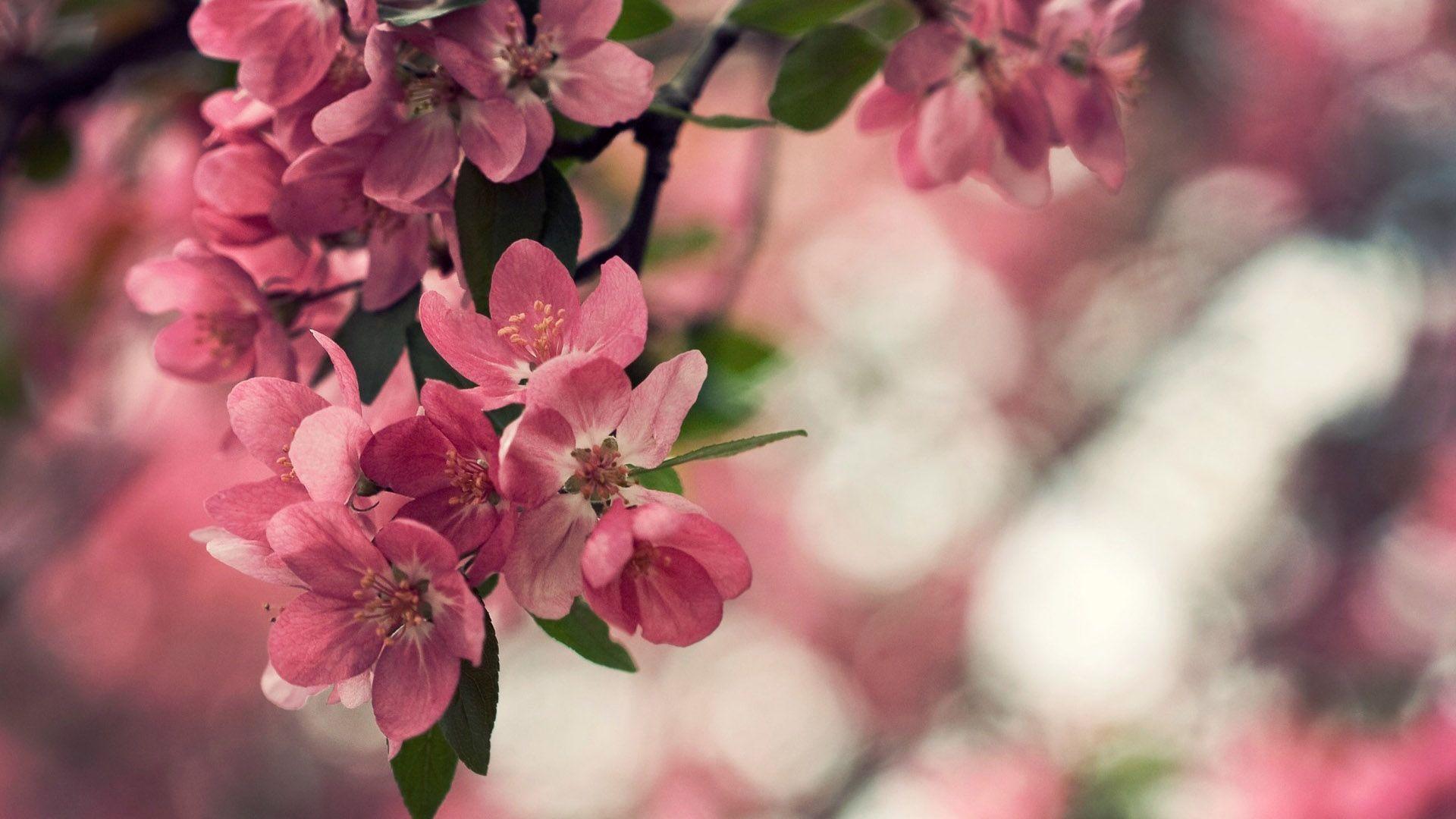 peach flowers wide hd wallpaper for desktop background download 1920x1080