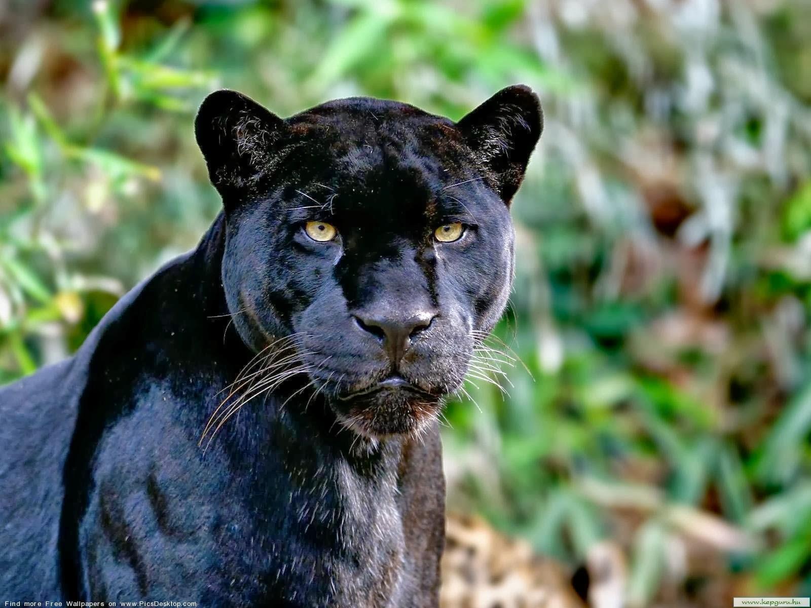 Black Panther HD Wallpapers black panther wild animal wild black 1600x1200